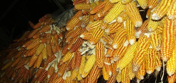 el maíz que cultivamos en casa